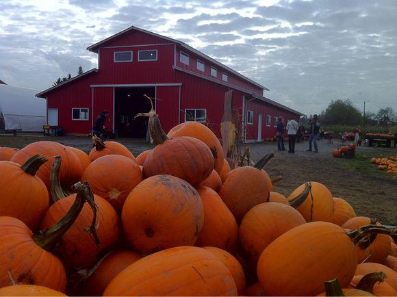 All Pumpkins All The Time - Pumpkin Patch