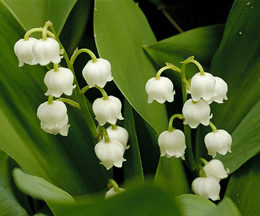 Tinkerblue L Lily Of The Valley